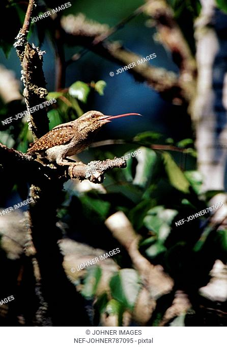 A wryneck with the tongue out