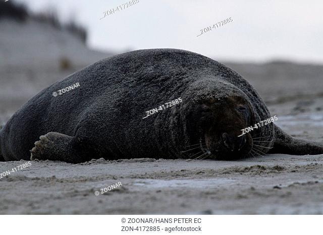Grey seal sleeps