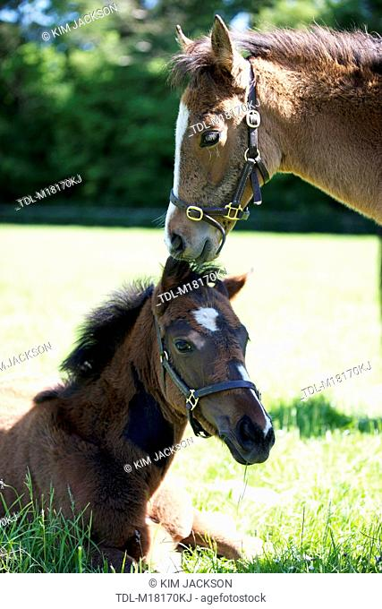 Two foals resting in a paddock
