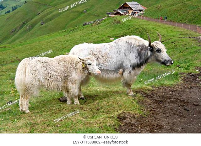 two Yak