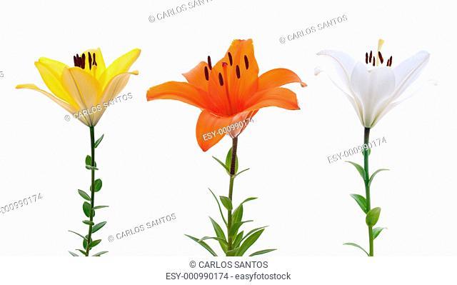 Fresh lilys
