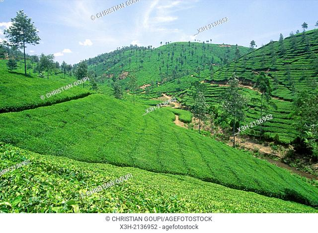 tea plantation, Cardamom Hills, Kerala, India, South Asia