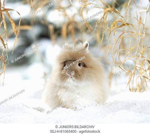 Dwarf Angora Rabbit in snow. Germany
