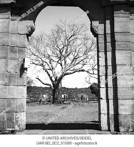 Baum bei den Ruinen von San Ignacio, Argentinien 1964. Tree near the ruins of San Ignacio, Argentina 1964
