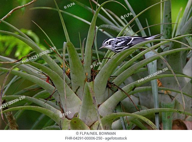 Black-and-white Warbler Mniotilta varia adult male, feeding at bromeliad, Marshall's Pen, Jamaica, november