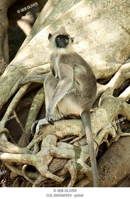 Portrait of black faced grey langur monkey looking over its shoulder, Sri Lanka