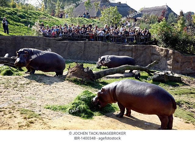 Hippopotami (Hippopotamus amphibius) in the outdoor enclosure of the ZOOM Erlebniswelt leisure park, Africa region, Gelsenkirchen, North Rhine-Westphalia