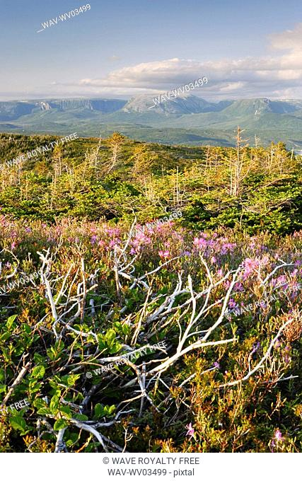 View of flowers and Gros Morne Mountain at sunset, Gros Morne NP, Newfoundland, Canada