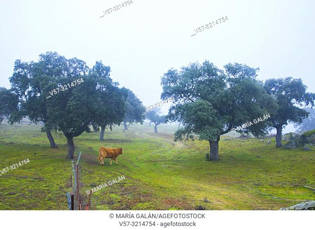 Cow walking along the meadow in the mist. Los Pedroches valley, Cordoba province, Spain