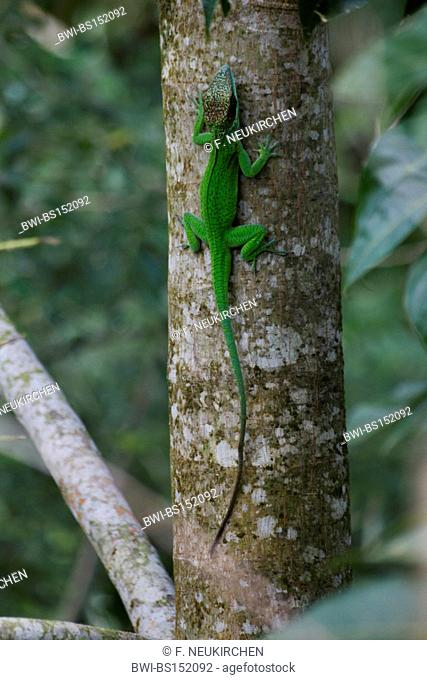 knight anole (Anolis equestris), climbing on a tree, Cuba, Humboldt Nationalpark