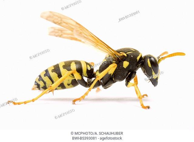 Paper wasp (Polistes gallicus, Polistes dominulus), cut-out, Austria