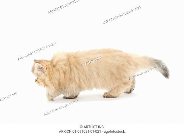 A walking kitten