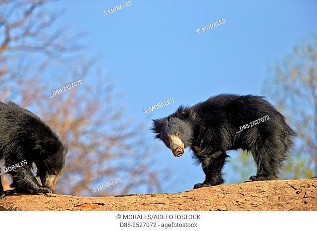 Asia, India, Karnataka, Sandur Mountain Range, Sloth bear Melursus ursinus