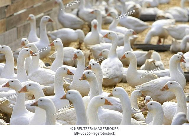 DEU, Federal Republic of Germany, Heidelberg, the geese of the poultry farm of Hans Mayer must stay in the stables because of the avian flu