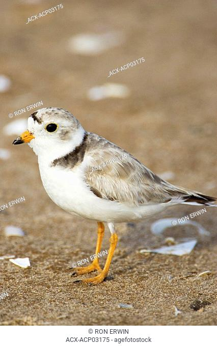 The endangered piping plover Charadrius melodus on Iles de la Madeleine / Magdalen Islands, Quebec, Canada