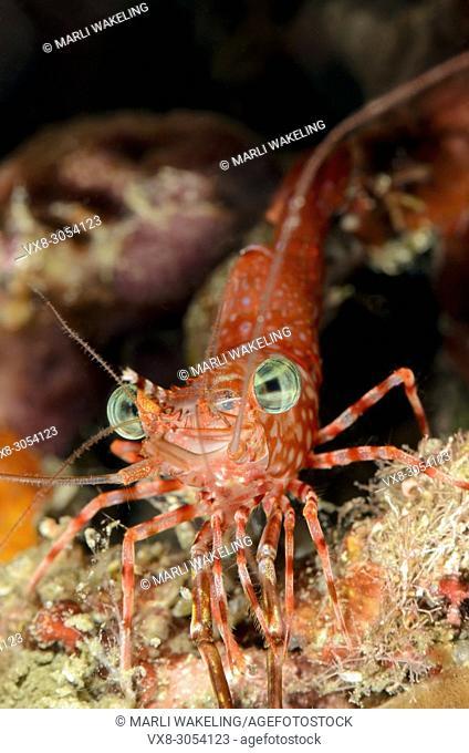 Henderson's hinge-beak shrimp, Rhychocinetes hendersoni, Lembeh Strait, North Sulawesi, Indonesia, Pacific