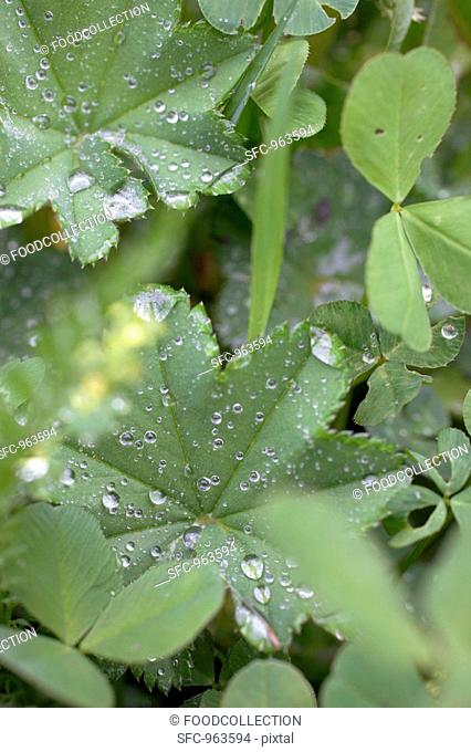 Lady's mantle leaves with drops of water in vegetable bed