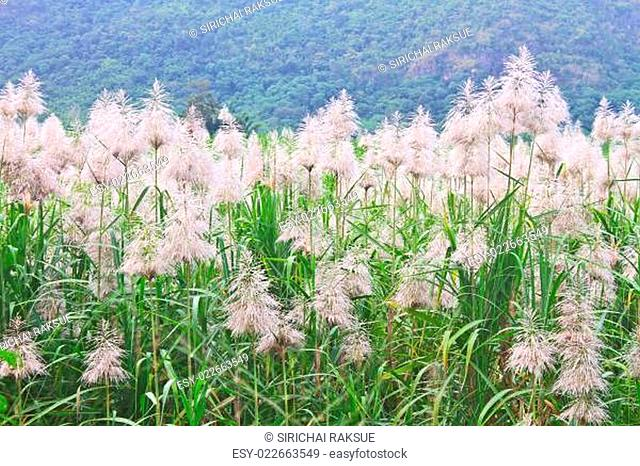 Golden giant reed field