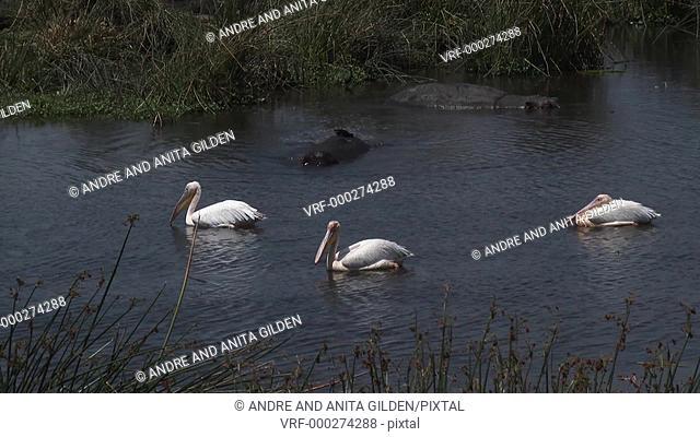 Great white pelicans (Pelecanus onocrotalus) in water with Hippo's (Hippopotamus amphibius)