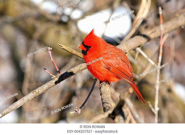 Northern Cardinal cardinalis male