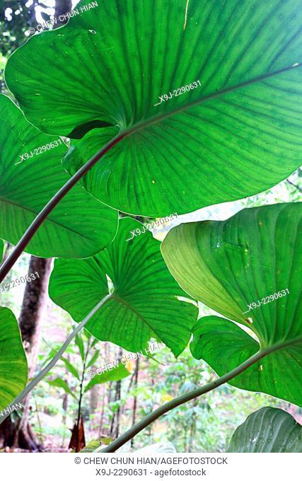 plant in nature, borneo