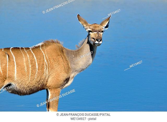 Greater kudu (Tragelaphus strepciceros), adult female standing at a waterhole, Etosha National Park, Namibia, Africa