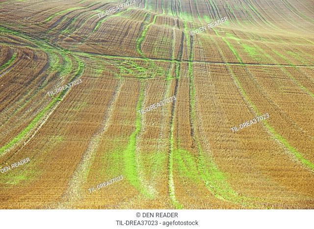 Field of golden cereal stubble with backlit fresh green grass and crossed by tracks on gently rolling hill Lincolnshire Wolds England UK