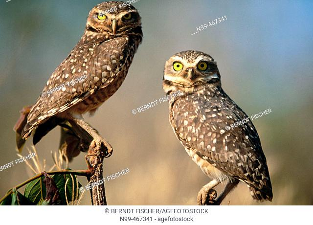 Burrowing owl (Athene cunilaria) pair sitting on a perch. Chapada dos Guimaraes. Mato Grosso. Brazil