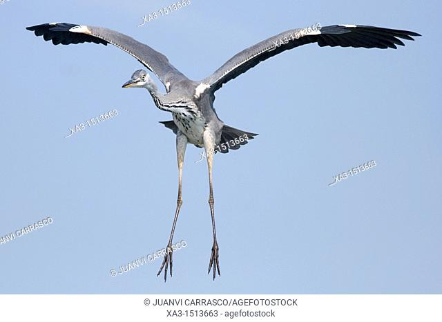 Grey heron in flight, Ardea cinerea, front view