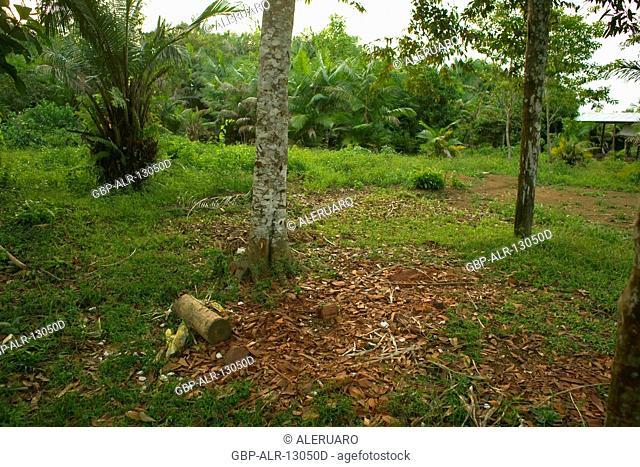 Tree, Brazilwood, Terra Preta Community, Cuieiras River, Amazônia, Manaus, Amazonas, Brazil