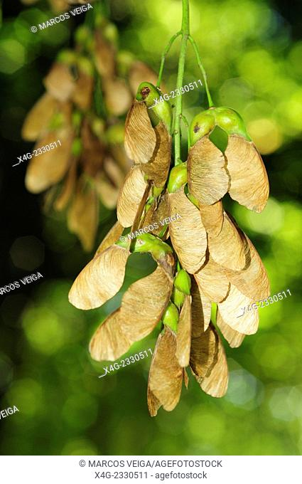 Seeds of the Sycamore maple (Acer pseudoplatanus)