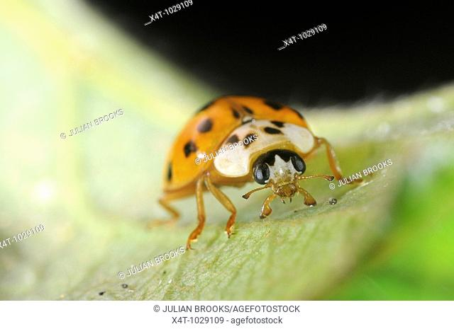 harlequin ladybird Harmonia axyridis on leaf