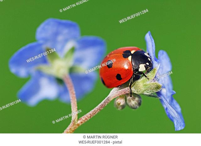 Seven-spot ladybird, Coccinella septempunctata, on blue blossom in front of green background