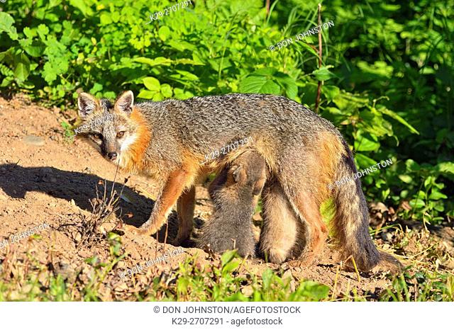 Grey Fox - (Urocyon cinereoargenteus) Mother interacting with kit, captive raised, Minnesota wildlife Connection, Sandstone, Minnesota, USA