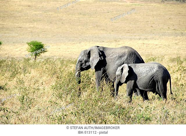 African Elephant (Loxodonta africana) and its young in the savannah Serengeti National Park Tanzania