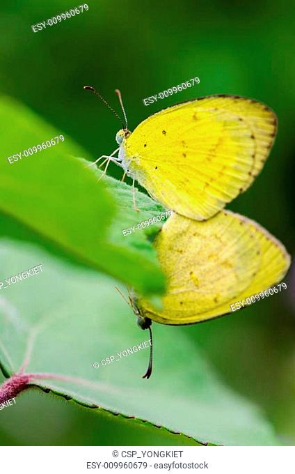 Common Grass Yellow butterfly mating