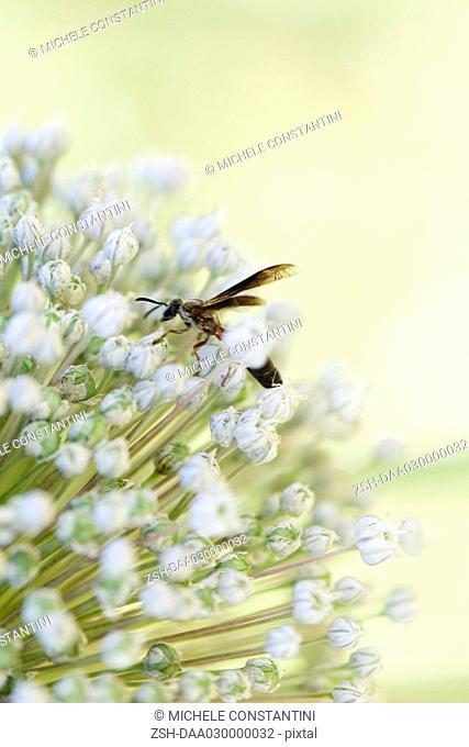 Wasp on allium blossom, close-up