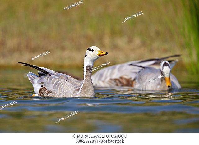 Asia, India, Uttar Pradesh, Chambal river, Bar-headed goose (Anser indicus),