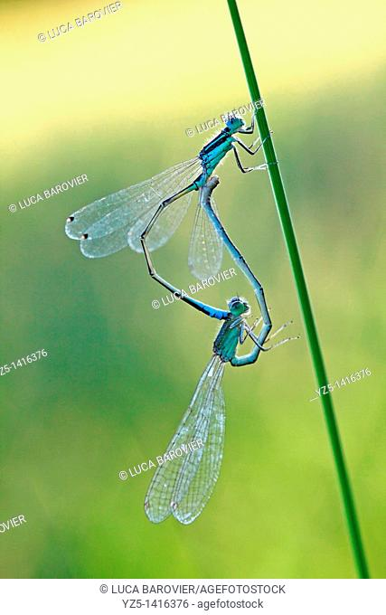 Ischnura elegans - Blue tailed damselfly - Coupling