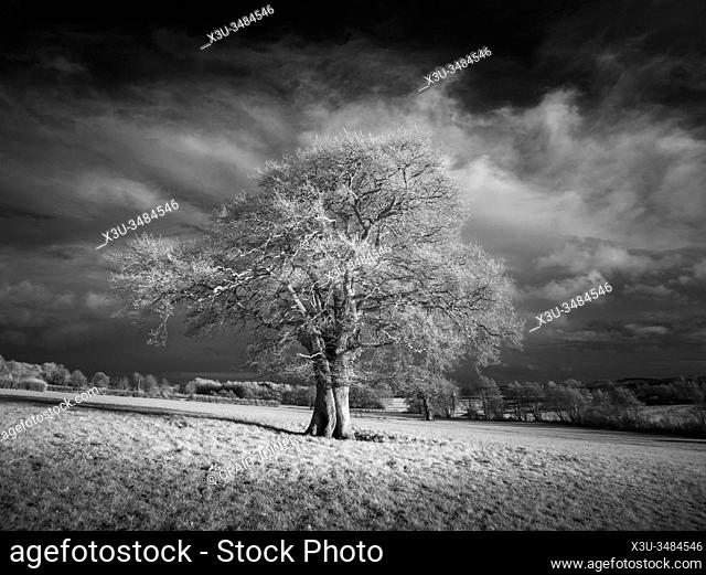 An infrared image of an English Oak tree in a field in winter