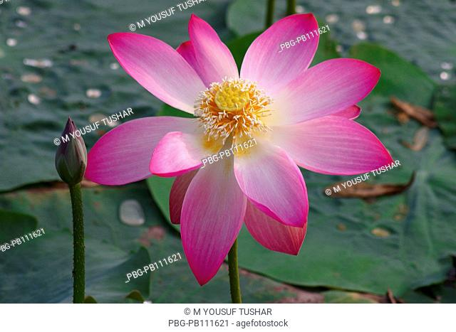 Lotus, Nelumbo nucifera, locally known as Padma, is an aquatic nymphaceous plant, found in the low lands of Bangladesh Local Hindu communities extensively use...