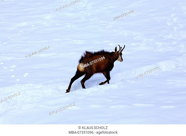 Chamois buck running in the snow