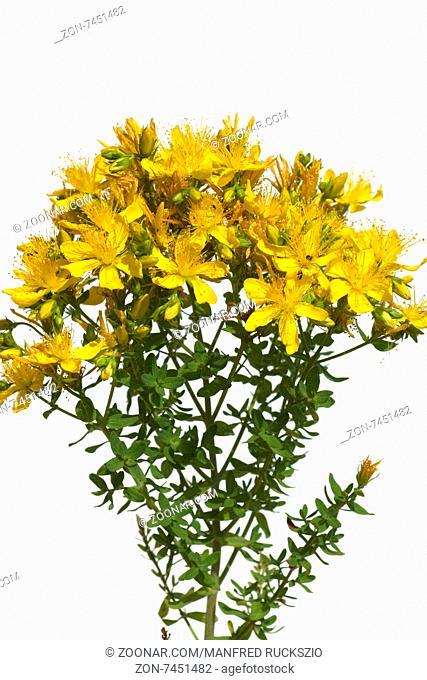 Johanniskraut, Hypericum, Perforatum, gelb