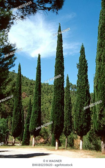 Italian cypress Cupressus sempervirens 'Stricta', in a row at a street boarder, Spain