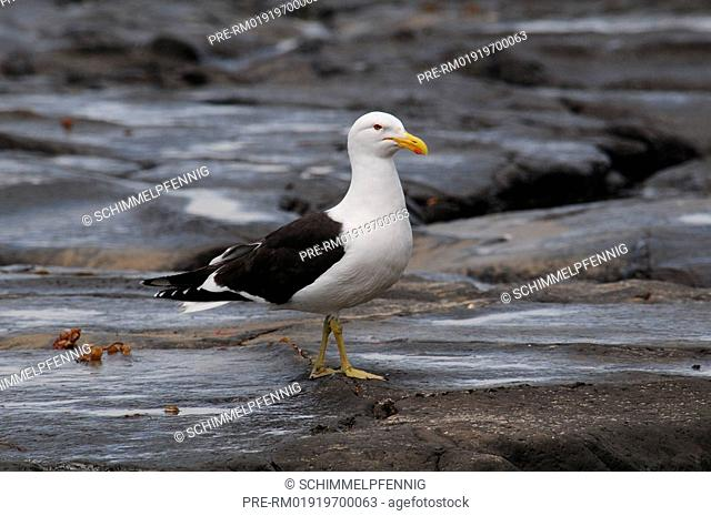 Black-backed Gull, Larus dominicanus