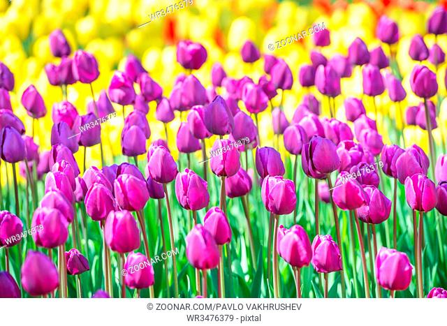 Field of tulips with many colorful flowers in the park