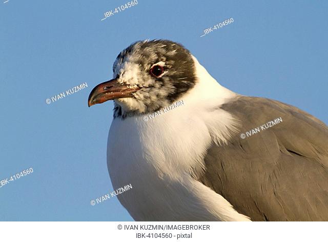 Laughing gull (Leucophaeus atricilla), 1 year old, portrait, Galveston, Texas, USA