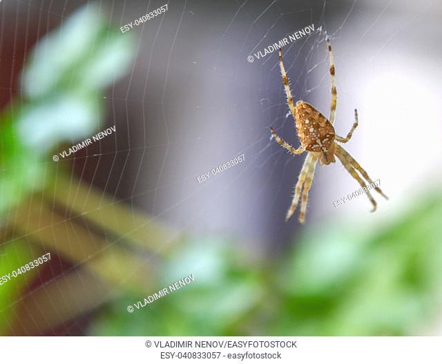 European garden spider (Araneus diadematus) at the center of a perfect web