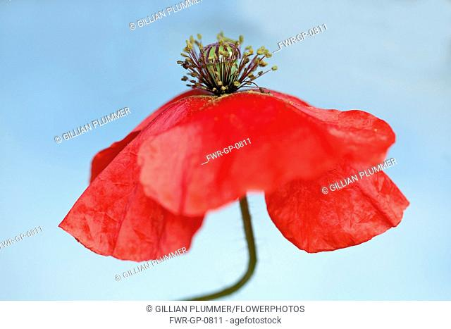 Field Poppy, Papaver rhoeas, A fading flower on a bent stem, with its red petals curved back and the stamens protruding upwards against a blue sky