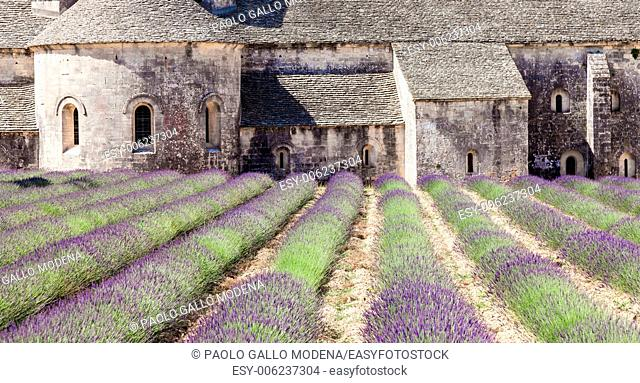 France, Provence Region, Senanque Abbey. Lavander field in summer season